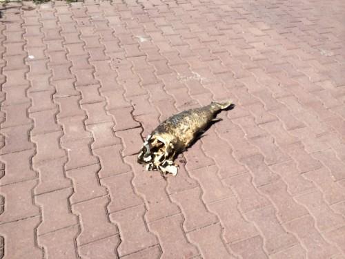 мертвая рыба на тротуаре
